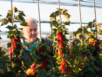 Mittleaged man picking small fruits
